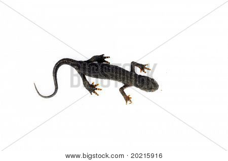 small salamander against white background