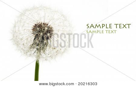 lovely simple image of a dandelion against white background