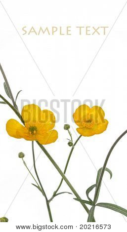 beautiful yellow flowers against white background
