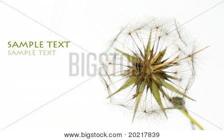 lovely dandelion against white background