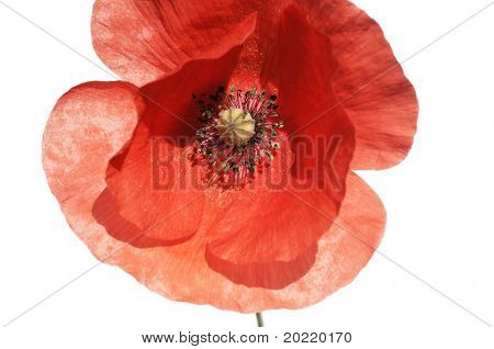 close-up of a red poppy against white background
