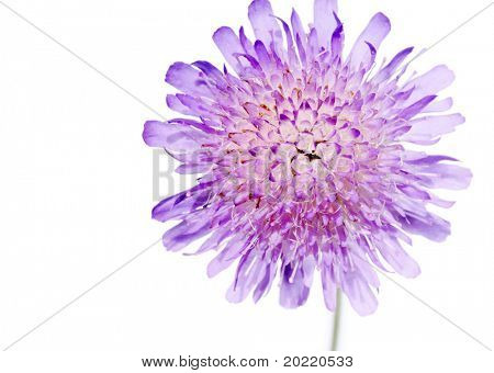 lovely purple flower against white background
