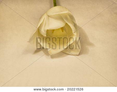 Tulip flower in HDR