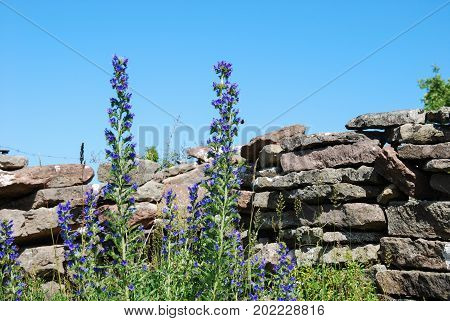Blossom blue weed flowers by an old limestone wall