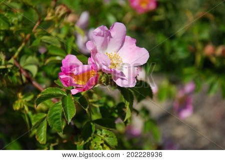 Wild rose shrub with blossom pink roses