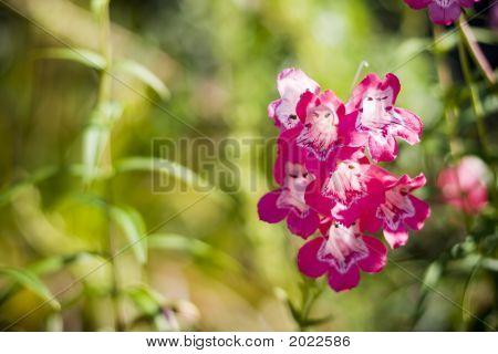 Pink Flowers, Ireland