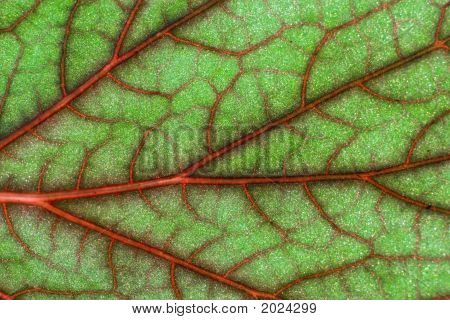Blood Geranium Leaf