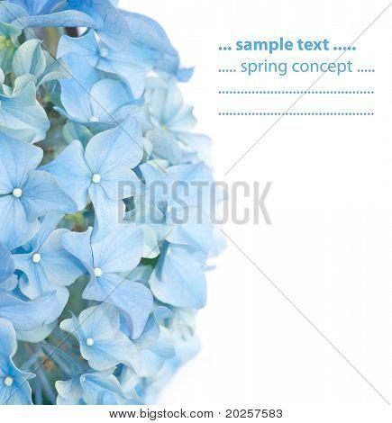 vivid blue spring flora (Hydrangea macrophylla)