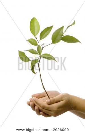 Hands Holding A New Tree