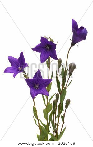 Platycodon Grandiflorus,Common Name, Balloon Flowers