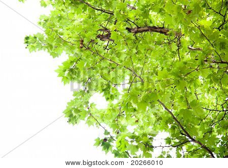 Branch of green  platanus leaves isolated on white background