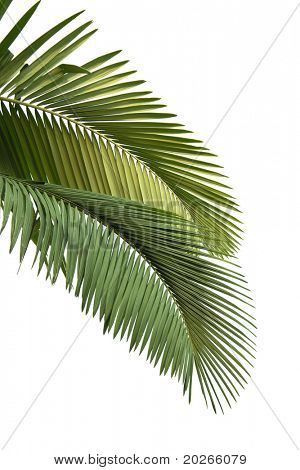 Leaves of palm tree  isolated on white background in sunset