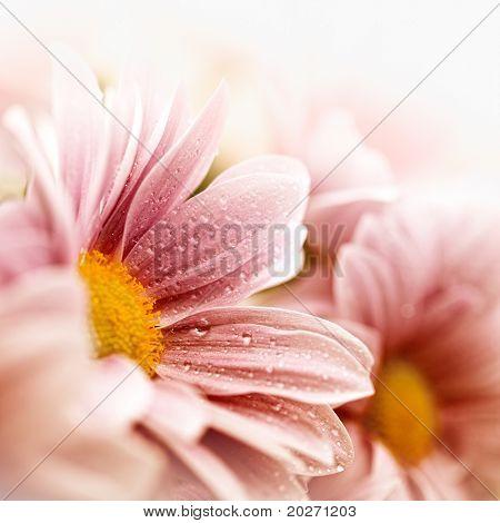 Closeup of daisy flowers