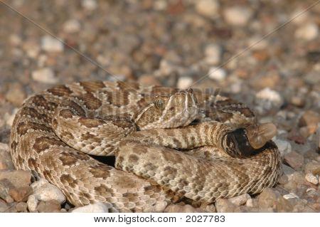 Neonate Prairie Rattlesnake
