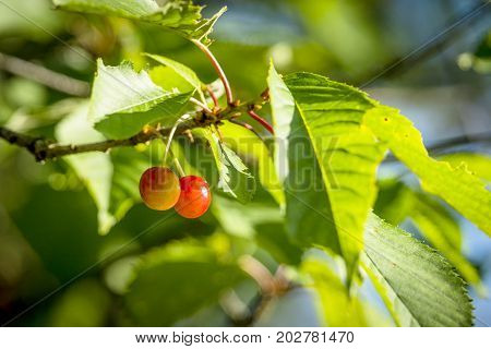 Couple Of Cherry Berries Hanging On A Green Tree