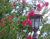 stock photo of crepe myrtle  - blooming crape myrtle shrub behind street lamp