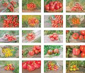 Collage Of Growing Tomatoes poster