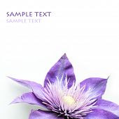 beautiful flower (clematis) against white background