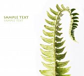 unfolding fern leaf against white background