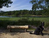 picture of german-sheperd  - A wooden seat overlooking a lake with plenty of greenery surrounding the image and a black German Shepherd dog sat next to the bench - JPG