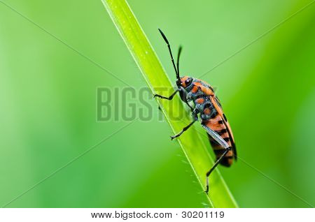 Red Hemiptera In Green Nature