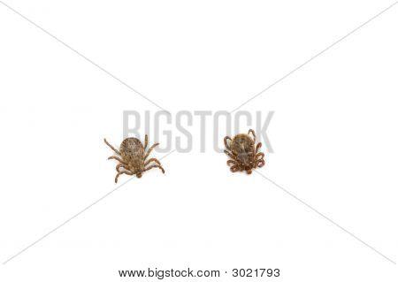 Male Pacific Coast Tick