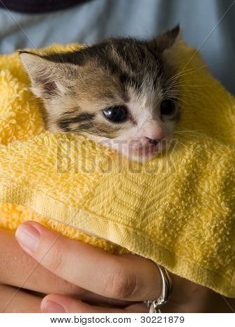 Stock Photo Of A Manx Kitten