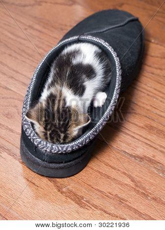 Kitten Sleeping In Shoe