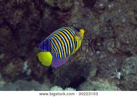 Royal angelfish no mar vermelho.