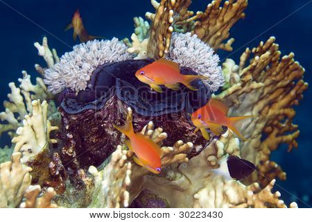 Giant clam and anthias in de Red Sea.