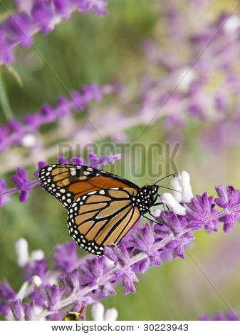 Stock Photo Of A Monarch Butterfly On A Purple Flower