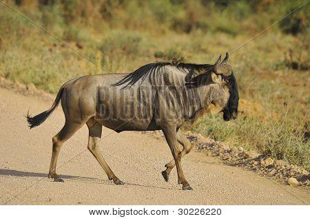 Wildebeest Serengeti park Tanzania