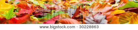 Autumn leaves panorama