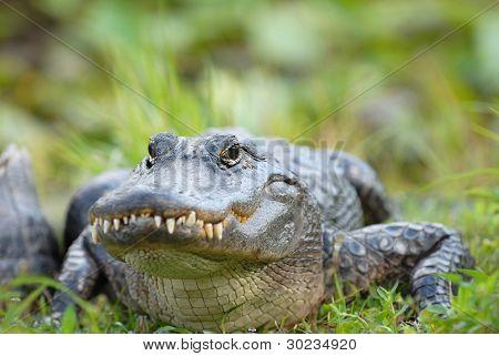 Gator Smile
