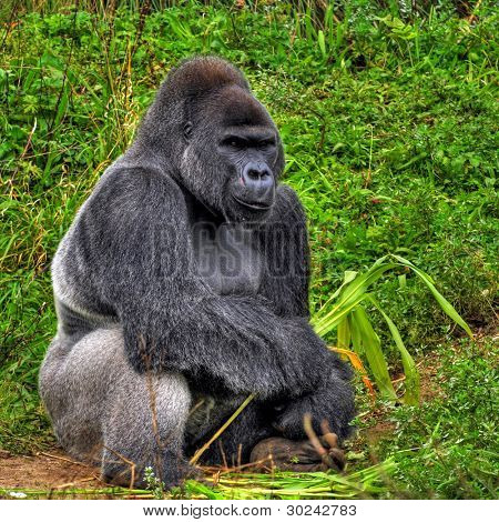 An HDR image of a male silver back gorilla sitting holding a piece of bamboo