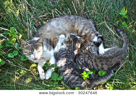 Mother Cat And Cubs