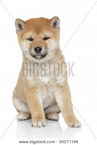 Shiba Inu Puppy Portrait
