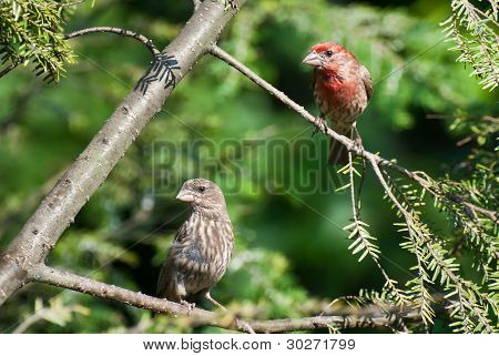 A Pair Of House Finch Perched In A Tree