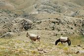 stock photo of euphrat  - Desert landscape with horses in Northern Kurdistan - JPG