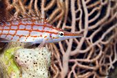 picture of hawkfish  - Longnose hawkfish taken  in de Red Sea - JPG