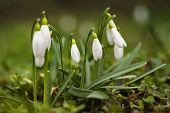 Snowdrop Spring Flowers.the First Early Snowdrop Flower.white Snowdrop . Galanthis In Early Spring G poster