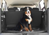 Bernese Mountain Dog In Car Trunk, Space For Text poster