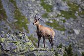 Wild Animal:  Chamois , Kamzik ( Rupicapra Rupicapra ) , Species Of Goat-antelope In Tatra Mountains poster