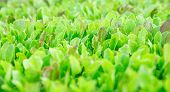 Green Lettuce Leaves. Fresh, Young And Tender Lettuce Leaves Grow In The Garden. A Solid Green Carpe poster