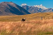 stock photo of mckenzie  - A solitary sheep graze in the McKenzie - JPG
