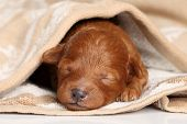 stock photo of chocolate poodle  - Poodle puppy  - JPG