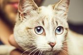 Cat Or Kitten, Small, Domestic Animal With Blue Eyes, Whiskers And Fluffy, Furry Coat Sitting In Hum poster