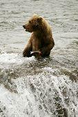 stock photo of brook trout  - Grizzly bears fishing for salmon Brooks Falls Katmai NP Alaska - JPG