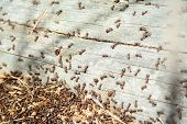 Many Ants Working Together On Fallen Dry Tree At Sunny Day Un The Forest Close Up. Macro Ant. Group  poster