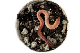 foto of nightcrawler  - Earthworms in a carton isolated on a white background - JPG